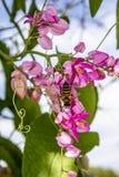 Honey Bee Pollinating las flores florecientes del rosa de la vid de la guirnalda de una reina Imagen de archivo