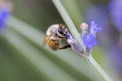 Honey Bee Pollinating Royalty Free Stock Photos