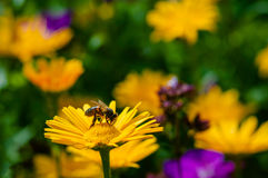 Honey Bee pollinating orange yellow daisies wildflowers in the summer time Royalty Free Stock Photography