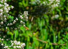Honey Bee Pollinating på den blommande tuyaen som är västra på trädgården Royaltyfri Foto