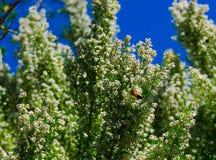 Honey Bee Pollinating på den västra blommande tuyaen Arkivbild