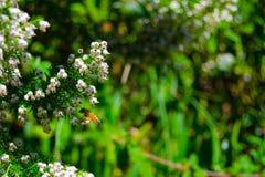 Honey Bee Pollinating på den västra blommande tuyaen Royaltyfri Foto