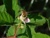 Honey Bee Pollinating pica la flor con el fondo blured de hojas Fotos de archivo libres de regalías