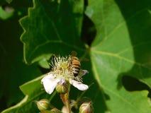 Honey Bee Pollinating pica la flor con el fondo blured de hojas Fotos de archivo