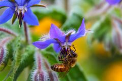 Honey bee pollinating a purple flower. In the summer stock image