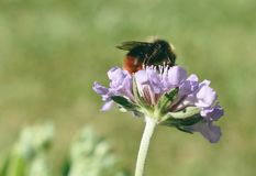 Honey Bee Pollinating-Purpurblume Stockbilder