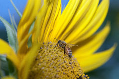 Honey bee pollinating the sunflower stock photos