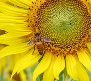 Honey Bee pollinating sunflower. Royalty Free Stock Photography