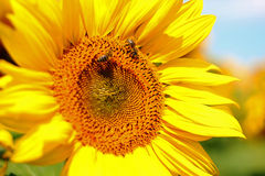 Honey Bee Pollinating Sunflower en el campo de girasoles Fotos de archivo