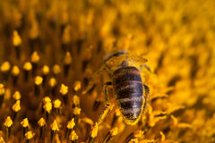 Honey bee pollinating sunflower. Macro view flower seeds and insect searching nectar. Shallow depth of field, selective Stock Photos
