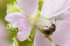 Honey bee pollinating violet flower. Macro view insect searching nectar. Shallow depth of field, selective focus Stock Photos