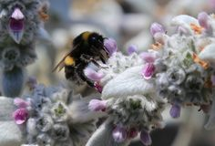 Honey bee pollinating on white lavender Royalty Free Stock Photography