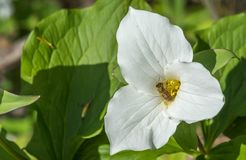 Honey Bee Pollinating a White Trillium in the Forest , YMX AIrport. Mirable, Quebec, Canada royalty free stock image