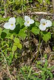 Honey Bee Pollinating a White Trillium in the Forest , YMX AIrport. Mirabel, Quebec, Canada royalty free stock photo