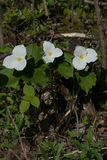 Honey Bee Pollinating a White Trillium in the Forest , YMX AIrport. Mirabel Quebec stock photography