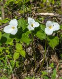 Honey Bee Pollinating a White Trillium in the Forest , YMX AIrport. Mirabel, Quebec, Canada royalty free stock photos