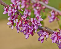 Honey bee pollinating wild flowers. Hard working honey bee pollinating wild flowers Stock Photography