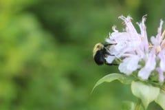 Honey Bee Pollinating Wildflower immagine stock libera da diritti