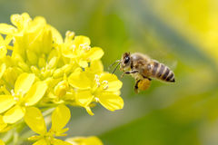 Honey Bee Pollinating Royalty Free Stock Images