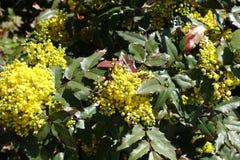 Honey bee pollinating flowers of Oregon grape. Honey bee pollinating yellow flowers of Oregon grape royalty free stock photo