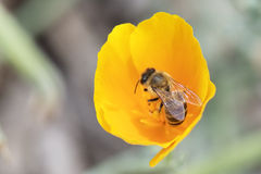 Honey Bee Pollinating On Yellow Poppy Flower Fotografía de archivo