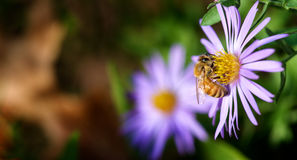 Honey bee pollination Stock Photo