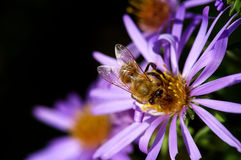 Honey bee pollination Royalty Free Stock Images