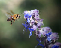 Honey bee pollination. Honey bee on a blue flower pollinating Stock Photos