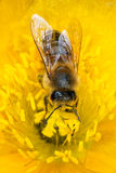 Honey bee on poppy. Stock Photography