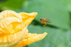 A honey bee and pumpkin flower royalty free stock photography