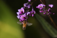 Honey bee on purple flower Royalty Free Stock Photos