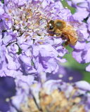 Honey bee on purple flower. A honey bee collects pollen from a purple Scabiosa pin cushion flower in the sunshine stock photos