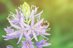 Honey bee on purple flower Stock Image