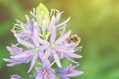 Honey bee on purple flower Stock Image