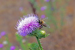 Honey bee on a purple flower. Closeup Royalty Free Stock Photos