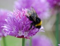 Honey Bee on purple flower. Honey Bee collecting nectar from purple chive flower Royalty Free Stock Photos