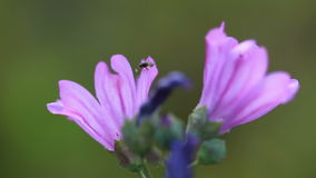 Honey Bee on a purple flower stock footage