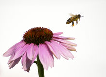 Honey Bee Flying from  Flower on white background. Honeybee flying  from a purple coneflower (Echinacea purpurea) with pollen Stock Photo