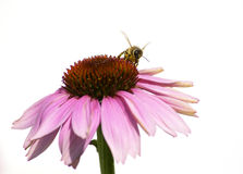 Honey Bee on Purple Flower on white background. Honeybee gathering nectar and pollen from a purple coneflower (Echinacea purpurea Royalty Free Stock Photography