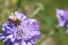 Honey bee on purple pin cushion flower. A honey bee collects pollen from a purple Scabiosa pin cushion flower in the sunshine stock photos
