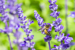 Honey bee on Purple Salvia with nature background Stock Photos