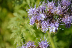 Honey bee on purple tansy flower Stock Photography