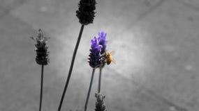 Honey Bee que come de una flor púrpura Fotos de archivo libres de regalías
