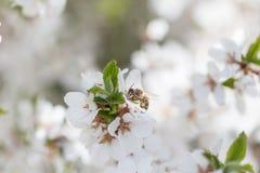 Honey Bee que cosecha el polen de Cherry Blossom Fotos de archivo libres de regalías