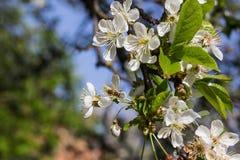 Honey Bee que cosecha el polen de Cherry Blossom Fotografía de archivo