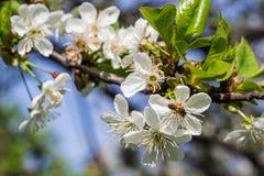 Honey Bee que cosecha el polen de Cherry Blossom Imágenes de archivo libres de regalías