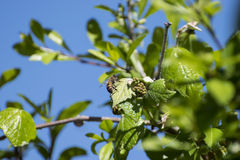 Honey Bee que descansa sobre la hoja del árbol Foto de archivo libre de regalías
