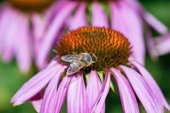 Honey Bee que poliniza en las flores púrpuras Imagen de archivo libre de regalías