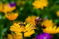 Honey Bee que poliniza wildflowers de las margaritas del amarillo anaranjado en el tiempo de verano Fotografía de archivo libre de regalías