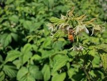 Honey Bee que poliniza y que recoge el néctar en un flor de la frambuesa en primer del jardín del verano Fotos de archivo